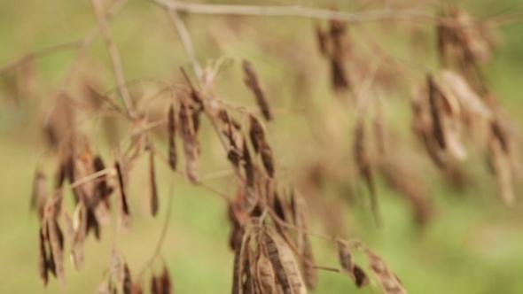 Dry Fruits Acacia