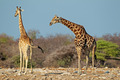 Giraffes in natural habitat - PhotoDune Item for Sale
