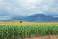 Corn (maize) field - PhotoDune Item for Sale