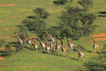 Giraffe herd - PhotoDune Item for Sale