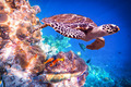 Hawksbill Turtle - Eretmochelys imbricata - PhotoDune Item for Sale