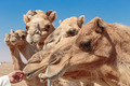 Camels on the farm - PhotoDune Item for Sale