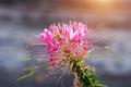 Fragrant and flourish spider flowers - PhotoDune Item for Sale