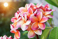 Plumeria flower Mixed color of orange and pink - PhotoDune Item for Sale
