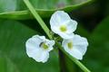 Close up Texas mud baby flower (Echinodosus cordifolius (L.) Gri - PhotoDune Item for Sale
