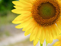 Close-up of Sunflower - PhotoDune Item for Sale