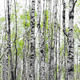 Forest with trunks of birch trees - PhotoDune Item for Sale