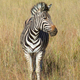 Zebra in Southafrica - PhotoDune Item for Sale