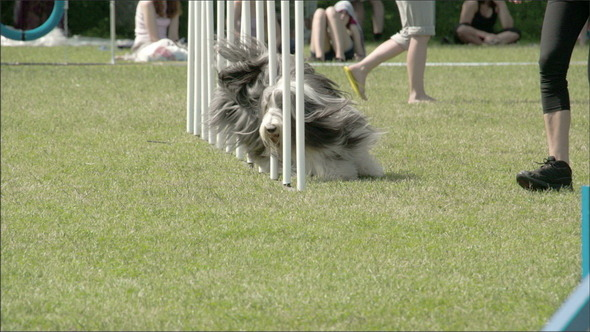 Showcasing Dogs Agility on the Obstacles