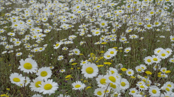 White Daises on the Field