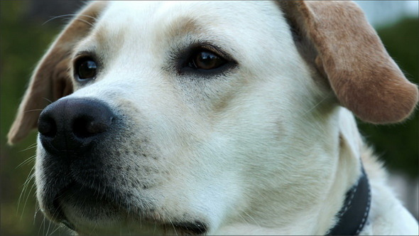 VideoHive A Cute Labrador Sniffing His Nose 10989212