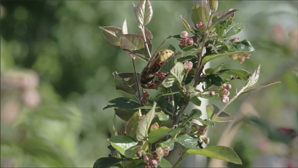 VideoHive A European Hornet Flying on a Plant 10981468