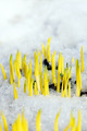 Young fresh plants growing up through the snow - PhotoDune Item for Sale