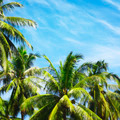 Coconut Palms - PhotoDune Item for Sale