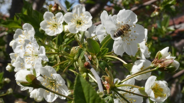 Bees on White Blossomed Tree 4