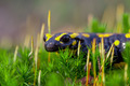 Fire salamander on moss looking in the camera - PhotoDune Item for Sale