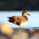 Natural Wild Animal Gadwall Duck  - VideoHive Item for Sale