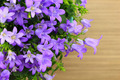 Potted Campanula Portenschlagiana on wooden background - PhotoDune Item for Sale