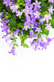 Potted Campanula Portenschlagiana isolated on white background - PhotoDune Item for Sale