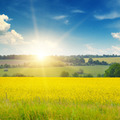 canola field and blue sky - PhotoDune Item for Sale