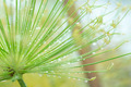 Egyptian papyrus sedge plant with dew after raining. - PhotoDune Item for Sale