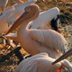 Pelicans On Shore At Sunset - VideoHive Item for Sale