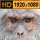 Old Chimpanzee - VideoHive Item for Sale