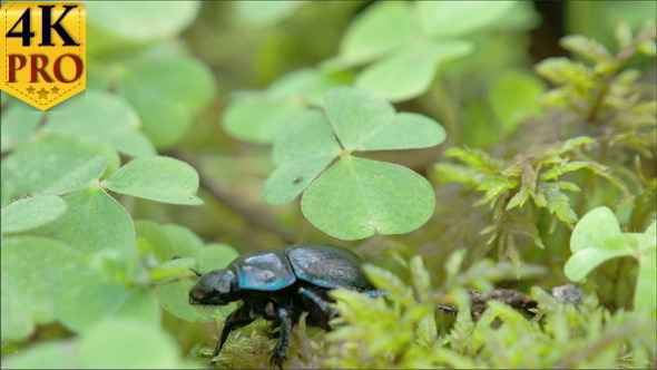 Black and Shiny Dung Beetle is Crawling on the Leaf