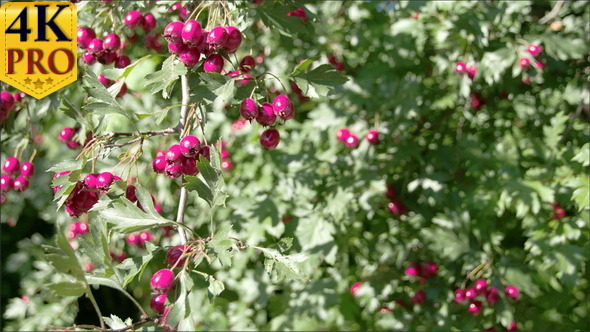 Lots of Crataegus Fruits Bloomed on the Spring