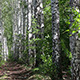 Summer Birch Woods Alley - VideoHive Item for Sale