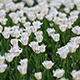 Field Of White Tulips - VideoHive Item for Sale
