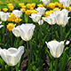 Field Of Blooming Different Color Tulips - VideoHive Item for Sale