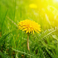 Yellow dandelions - PhotoDune Item for Sale