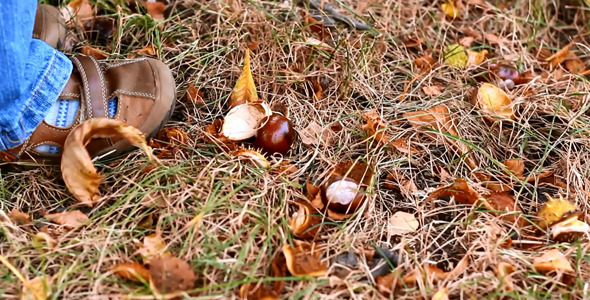 Little Child Picking Up Chestnuts in Park