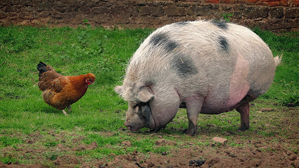 Pig And Chicken On The Farm