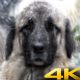 Shepherd Dog with Sheep and Goat Herd - VideoHive Item for Sale