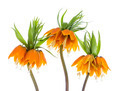 Three Imperial Crown (Fritillaria Imperialis) isolated on white background - PhotoDune Item for Sale