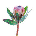 Protea flower on a white background - PhotoDune Item for Sale