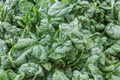 Greenhouse with closeup from cultivated vegetables (Wild Spinach) - PhotoDune Item for Sale