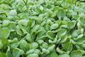 Dutch greenhouse with closeup cultivated vegetables (Bok Choy taisai) - PhotoDune Item for Sale