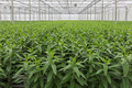 Greenhouse with cultivation of lily flowers - PhotoDune Item for Sale