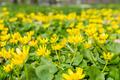Lesser celandine (Ranunculus ficaria, Ficaria grandiflora Robert, Ficaria verna Huds.) - PhotoDune Item for Sale