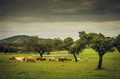 Pasturing Cows - PhotoDune Item for Sale