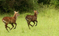 Prancing Waterbuck - PhotoDune Item for Sale