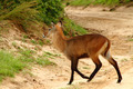 Waterbuck Crosses the Road - PhotoDune Item for Sale