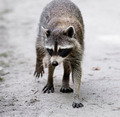 Raccoon  Walking - PhotoDune Item for Sale