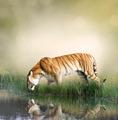 Tiger Near Pond - PhotoDune Item for Sale