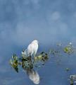 Snowy Egret - PhotoDune Item for Sale
