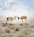Thomson s Gazelles - PhotoDune Item for Sale