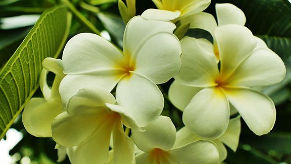VideoHive Plumeria Flower02 11149813
